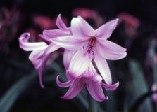 пинк lilium лилий стоковое изображение