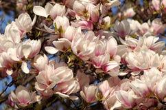 пинк magnolia цветений Стоковые Фотографии RF