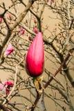 пинк magnolia цветений Стоковое фото RF