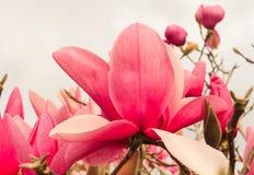 пинк magnolia цветений Стоковая Фотография