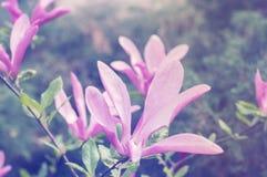 пинк magnolia цветка Стоковые Фотографии RF