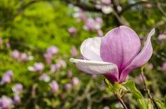 пинк magnolia цветка Стоковые Фото