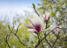 пинк magnolia цветка Стоковые Изображения RF