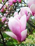 пинк magnolia Стоковые Фото