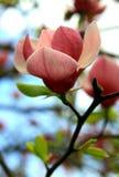 пинк magnolia Стоковое фото RF
