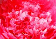 пинк peony цветка Стоковое Изображение