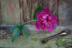 пинк peony цветка Стоковая Фотография RF