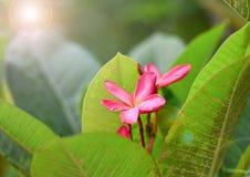 Пинк Plumeria Стоковые Фотографии RF
