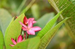 Пинк Plumeria Стоковая Фотография RF