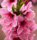 пинк sichuan персика конца фарфора цветений вверх стоковые фото
