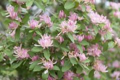 Пинк tatarica Lonicera цветет предпосылка Английский каприфолий Tatarian имени Стоковое Фото