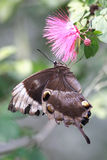пинк ulysses цветка бабочки стоковые фото