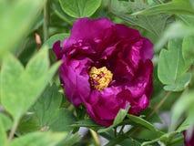 Пион, национальный цвет, король цветков, стоковое фото