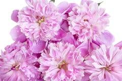 Пион пинка цветка весны с водой падает на ее Стоковая Фотография RF
