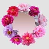 Пион цветет рамка стоковые фотографии rf