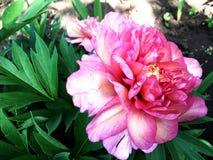 Пион цветка красочных выставок фото зацветая Стоковые Фотографии RF