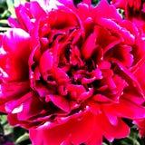 Пион цветка красочных выставок фото зацветая Стоковые Изображения RF