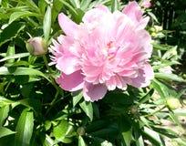 Пион цветка красочных выставок фото зацветая Стоковое Изображение