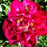Пион цветка красочных выставок фото зацветая Стоковые Фото