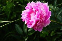 Пион, цветок Стоковая Фотография RF