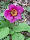 Пион яркого розового цветка одичалый Стоковая Фотография RF