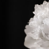 Пион, black&white Стоковые Фото