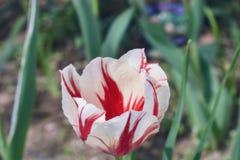 ` Пипермента twirl реальности увеличенной конец ` красный и белый тюльпана вверх стоковые изображения