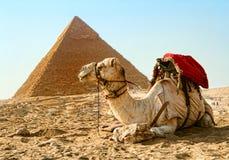 Пирамида верблюда Гизы, Египта стоковая фотография rf