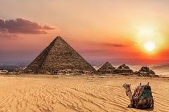Пирамида Menkaure на заходе солнца и верблюде рядом, Гиза, Египет стоковое изображение