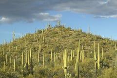 Пирамидка гигантского кактуса saguaro Sonoran стоковая фотография rf