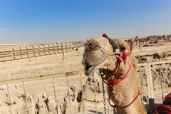 пирамидка Египета giza верблюдов Стоковое Изображение RF