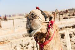 пирамидка Египета giza верблюдов Стоковые Фотографии RF