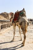 пирамидка Египета giza верблюдов Стоковые Изображения RF