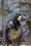 пират обезьяны Стоковая Фотография RF