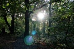 Пирофакел Солнця через деревья Стоковая Фотография