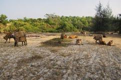 Пиршество коровы Стоковые Изображения