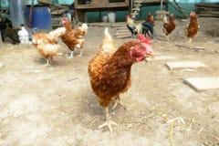 Питание куриц на традиционном сельском скотном дворе Курица стоя в траве на сельском саде в сельской местности поднимающее вверх  стоковое фото