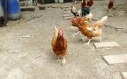 Питание куриц на традиционном сельском скотном дворе Курица стоя в траве на сельском саде в сельской местности поднимающее вверх  стоковая фотография