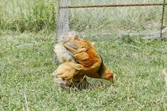 Питание куриц на традиционном сельском скотном дворе Курица стоя в траве на сельском саде в сельской местности поднимающее вверх  стоковые изображения rf