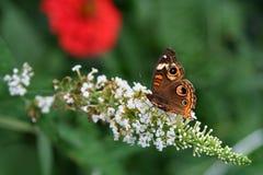 Питания бабочки конского каштана на белом кусте бабочки Стоковое Изображение