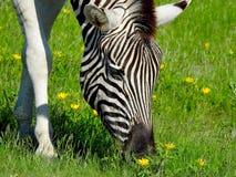Питания зебры на поле цветков Стоковые Фото