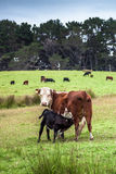 Питания икры от его мама коровы Стоковые Фото