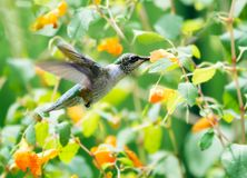 Питания колибри от и среди wildflowers Стоковые Изображения