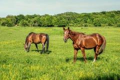 2 питания лошадей на траве Стоковая Фотография RF