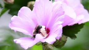 Питания пчелы на цветке сток-видео