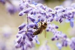Питания пчелы на лаванде стоковое изображение rf
