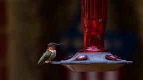 Питания рубин-throated колибри на фидере сток-видео