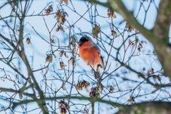 Питания bullfinch птицы на зиме Стоковое Фото