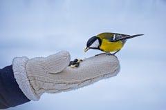 Питаясь небольшое tomtit в зиме, заботе птицы стоковое фото rf