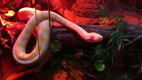 Питон ковра Дарвина альбиноса Стоковое Изображение RF